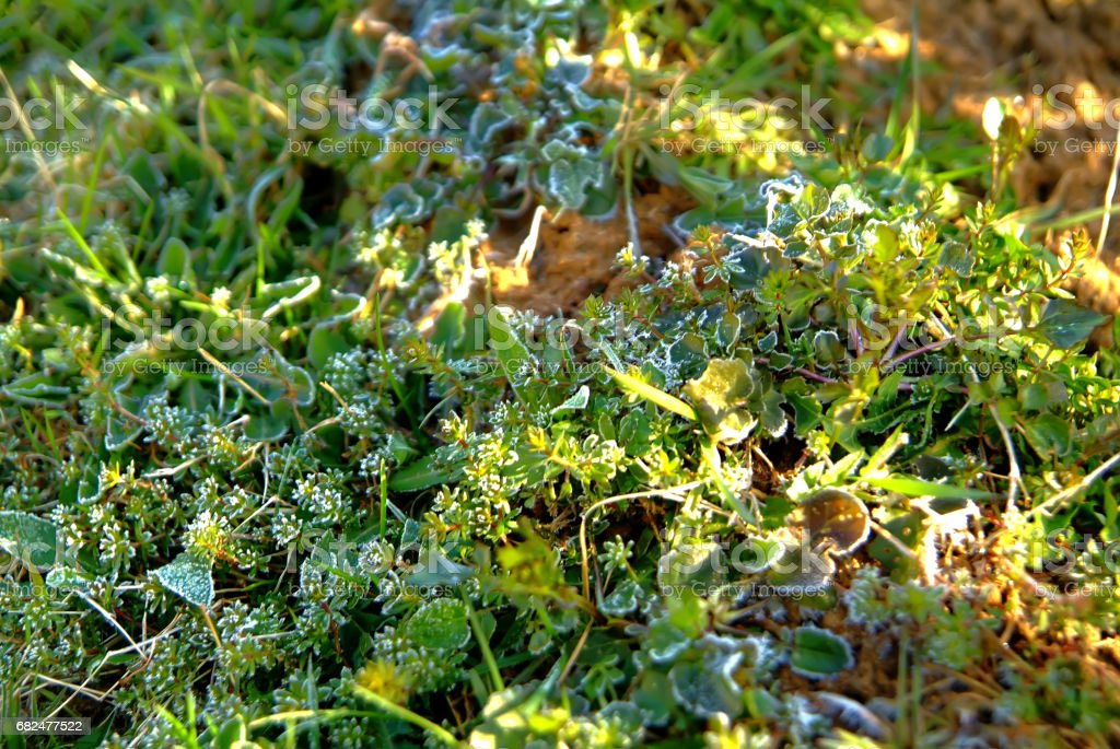 The grass in the garden, covered with frost royalty-free stock photo