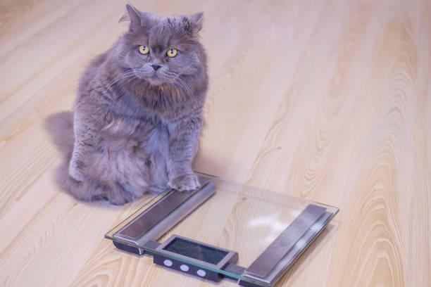 The gray big longhaired british cat sits near the scales and looks up picture id1127301257?b=1&k=6&m=1127301257&s=612x612&w=0&h=kzsz2cgzxaawjwgtjfz3mqnjyc7sl 5woyjclhcszsw=
