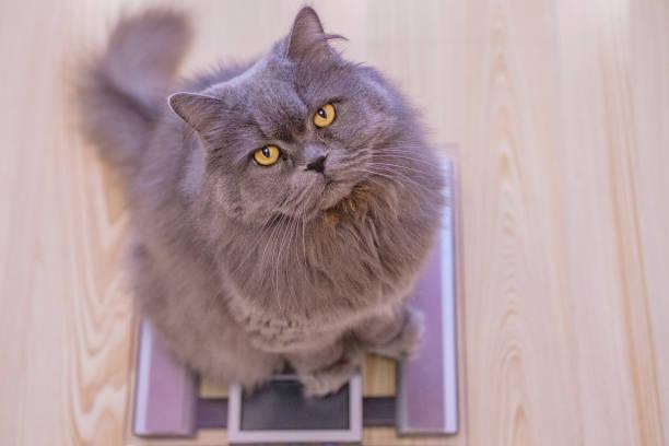 The gray big longhaired british cat sits on the scales and looks up picture id1127301255?b=1&k=6&m=1127301255&s=612x612&w=0&h=xipagz7xh3zzqqbasmtmb 1o3vlpp2p5cmq46wwbvpo=
