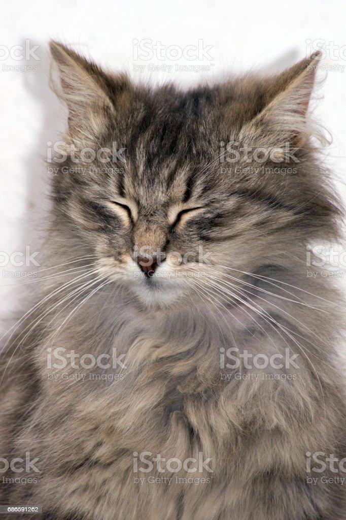 The gray cat photo libre de droits