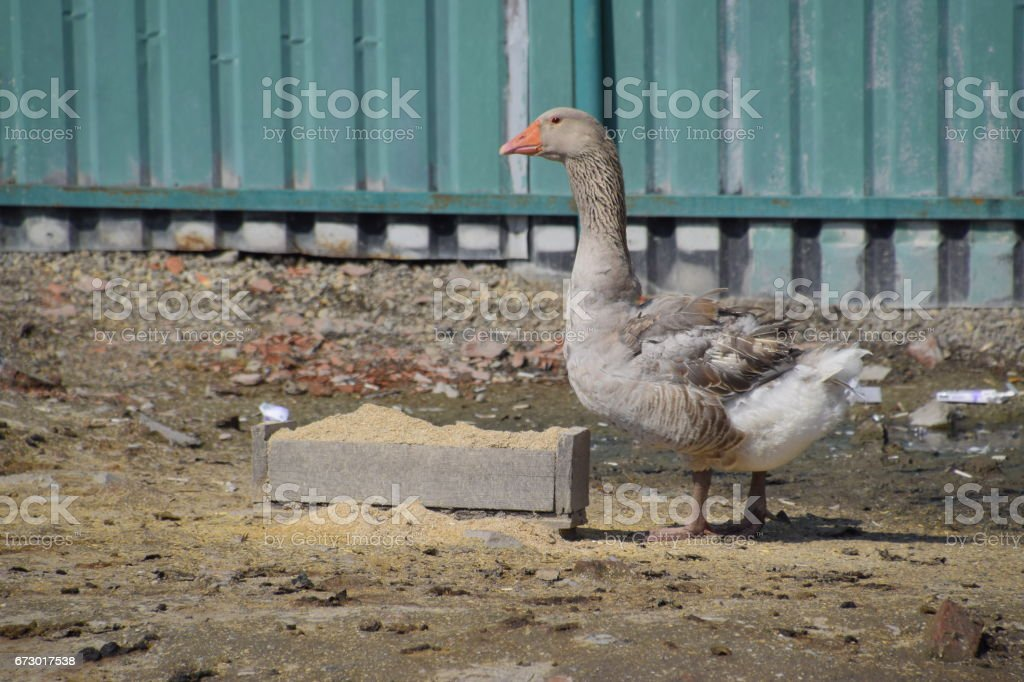 The gray goose is domestic. A domestic goose is food. stock photo
