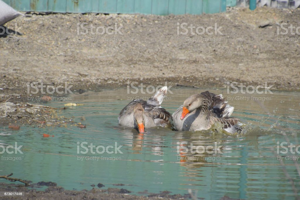 The gray goose is domestic. Homemade gray goose. Homemade geese in an artificial pond stock photo