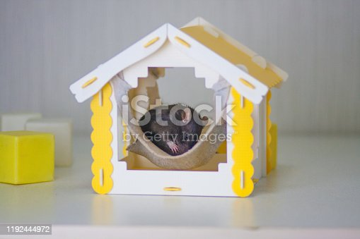 1206982378 istock photo The gray mice are sleeping in a homache. The yellow 1192444972