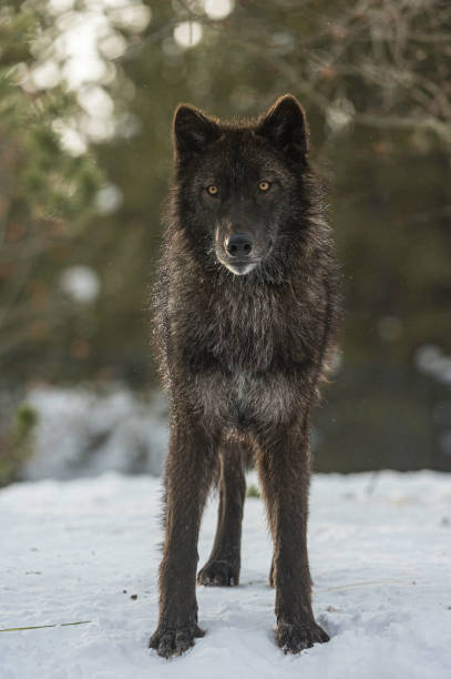 the gray wolf or grey wolf (canis lupus) is a species of canid native to the wilderness and remote areas of north america. - lupo foto e immagini stock