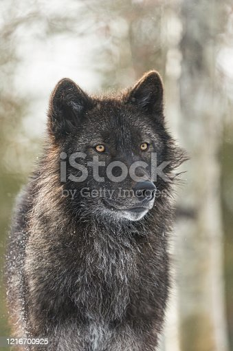 The gray wolf or grey wolf (Canis lupus) is a species of canid native to the wilderness and remote areas of North America.