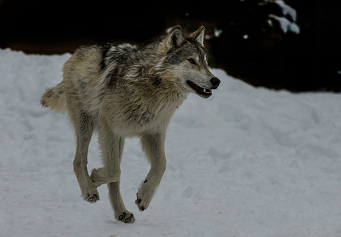 The gray wolf or grey wolf (Canis lupus) is a species of canid native to the wilderness and remote areas of North America. Running on the snow.
