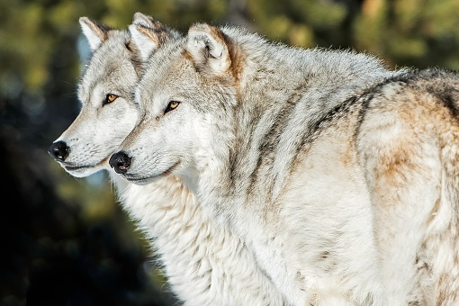 The gray wolf or grey wolf (Canis lupus) is a species of canid native to the wilderness and remote areas of North America.  Two wolves standing together.