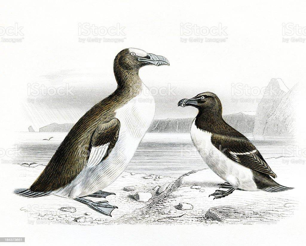 The Great and little Auk, Penguin, scientific Illustration, 1850 stock photo