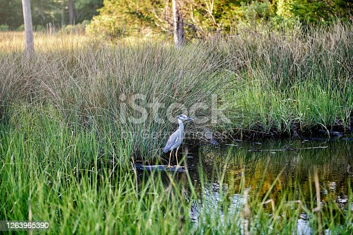 A blue heron standing in the marshes of the bay.