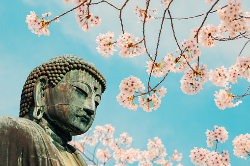 The Great Buddha bronze statue with cherry blossom at Kotoku-in temple in Kamakura, Japan