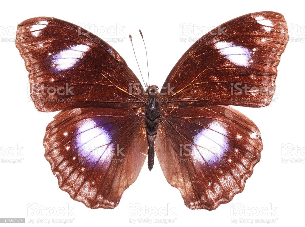 The Great Eggfly Butterfly (male) royalty-free stock photo