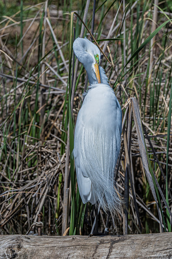 The great egret (Ardea alba), also known as the common egret, large egret, or great white egret or great white heron is a large, widely distributed egret. Shollenberger Park, Petaluma, California.  Pelecaniformes, Ardeidae.