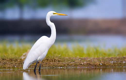 The great egret, large egret, or great white egret or great white heron is a large, widely distributed egret, with four subspecies found in Asia, Africa, the Americas, and Europe.