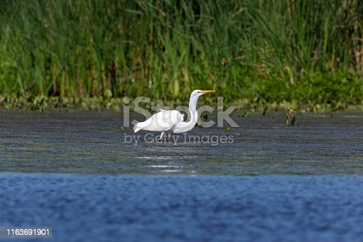 The great egret (Ardea alba),state conservation area in Wisconsin
