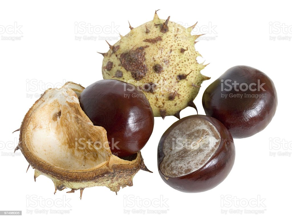 The great English Conker (Horse Chestnut) royalty-free stock photo