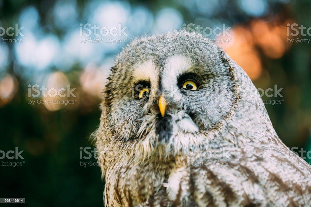 The great grey owl or great gray owl (Strix nebulosa) is a very large owl - Zbiór zdjęć royalty-free (Część ciała zwierzęcia)