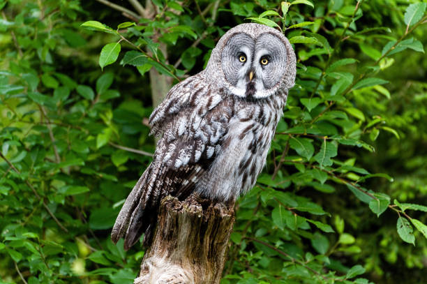 The great grey owl
