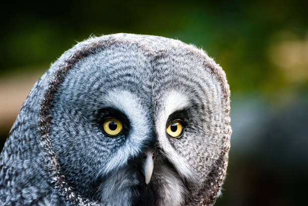 The great grey owl.