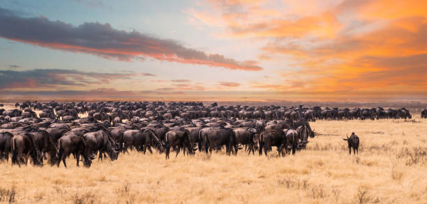 The great migration in Serengeti National Park,Tanzania This photo was taken during the game drive safari in Serengeti national park ,Tanzania. There were a lot of wildebeest migrate to Kenya and looking for the river. tanzania stock pictures, royalty-free photos & images