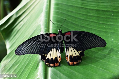 istock The Great Mormon butterfly on banana leaf 1050976112