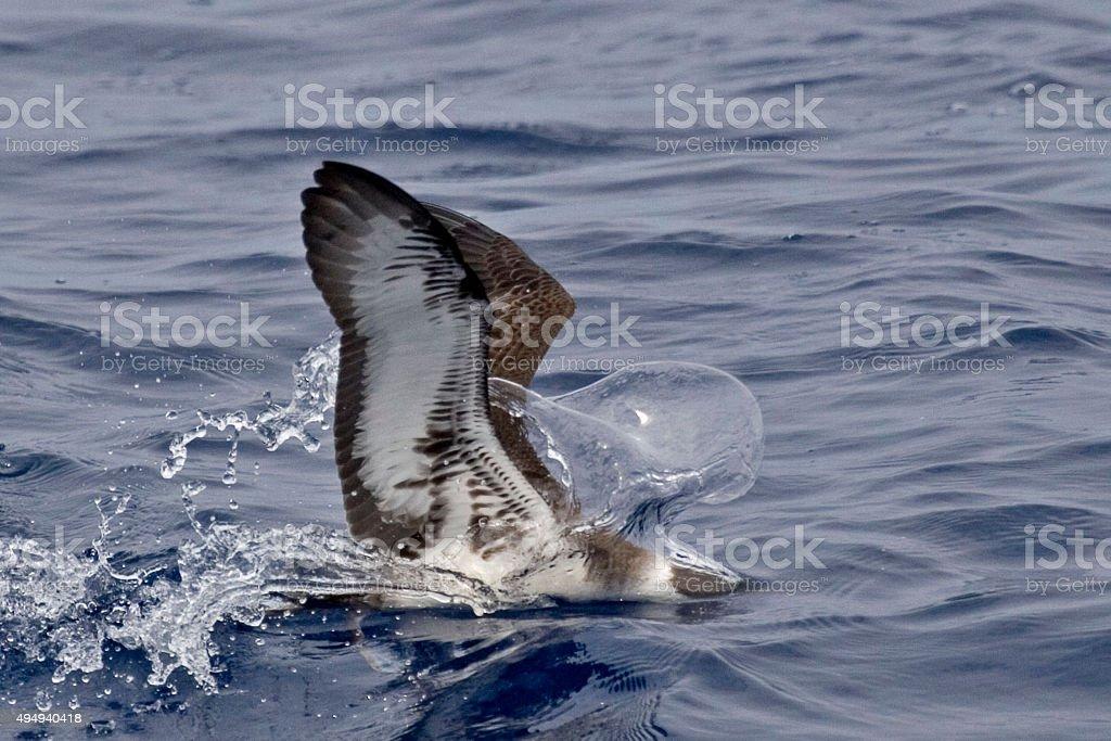 The Great Shearwater, Ardenna gravis feeding stock photo