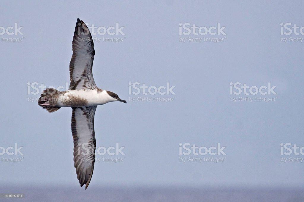 The Great Shearwater, Ardenna gravis in flight stock photo