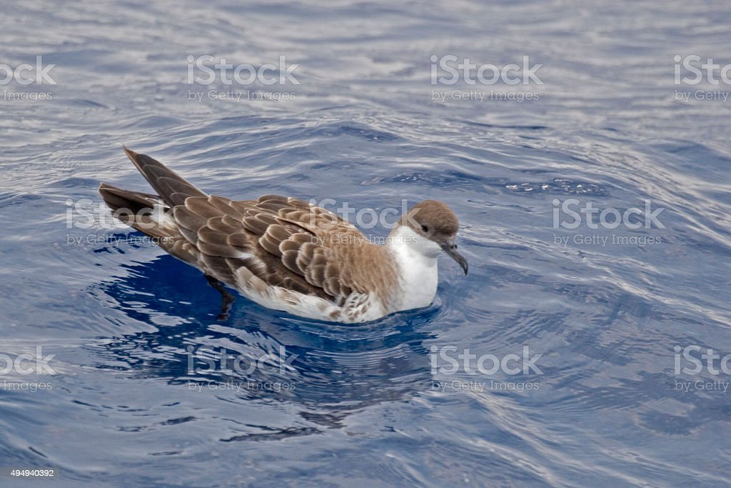 The Great Shearwater, Ardenna gravis resting on sea stock photo
