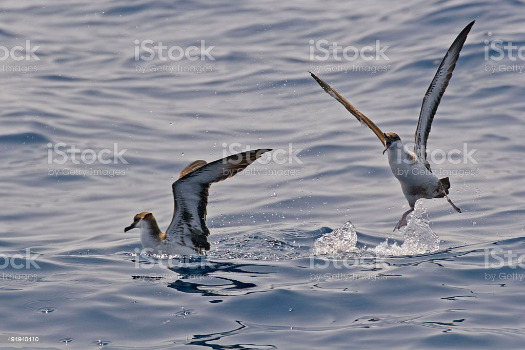 The Great Shearwater, Ardenna gravis squabble stock photo