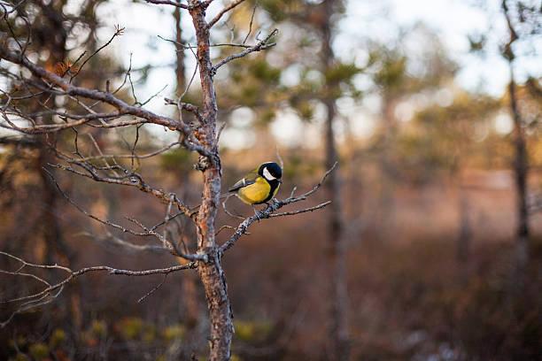The great tit in natural habitat – Foto