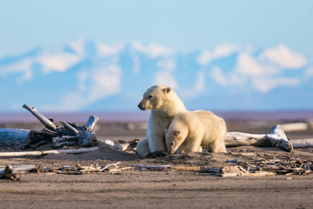 """The Great White Bear Polar bears in arctic Alaska wildlife or """"wild animal"""" stock pictures, royalty-free photos & images"""