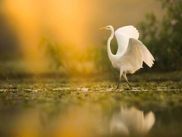 The great white egret at sunrise picture id938058018?b=1&k=6&m=938058018&s=612x612&w=0&h=wzcu0vxyxdwwv9q22vntoabl32recowxp 9mncoavlq=