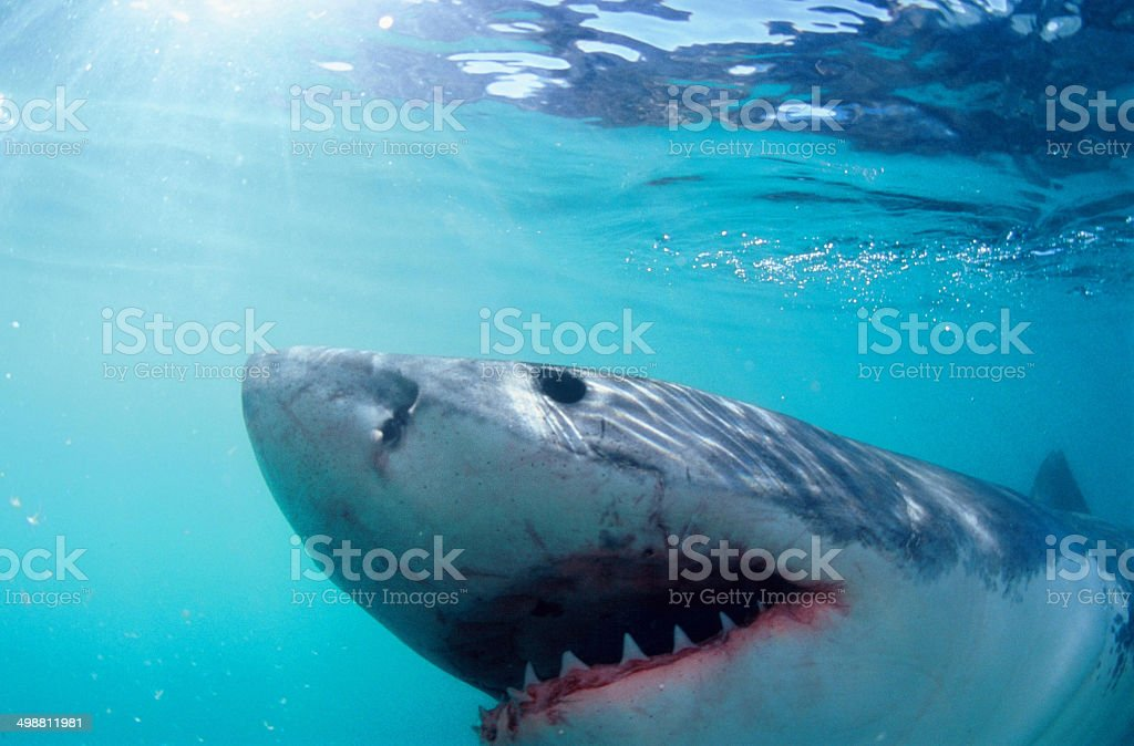 The Great White Shark stock photo