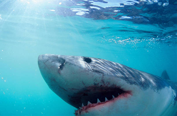 The Great White Shark Great White Shark, photographed from the safety of a cage in South Africa dorsal fin stock pictures, royalty-free photos & images
