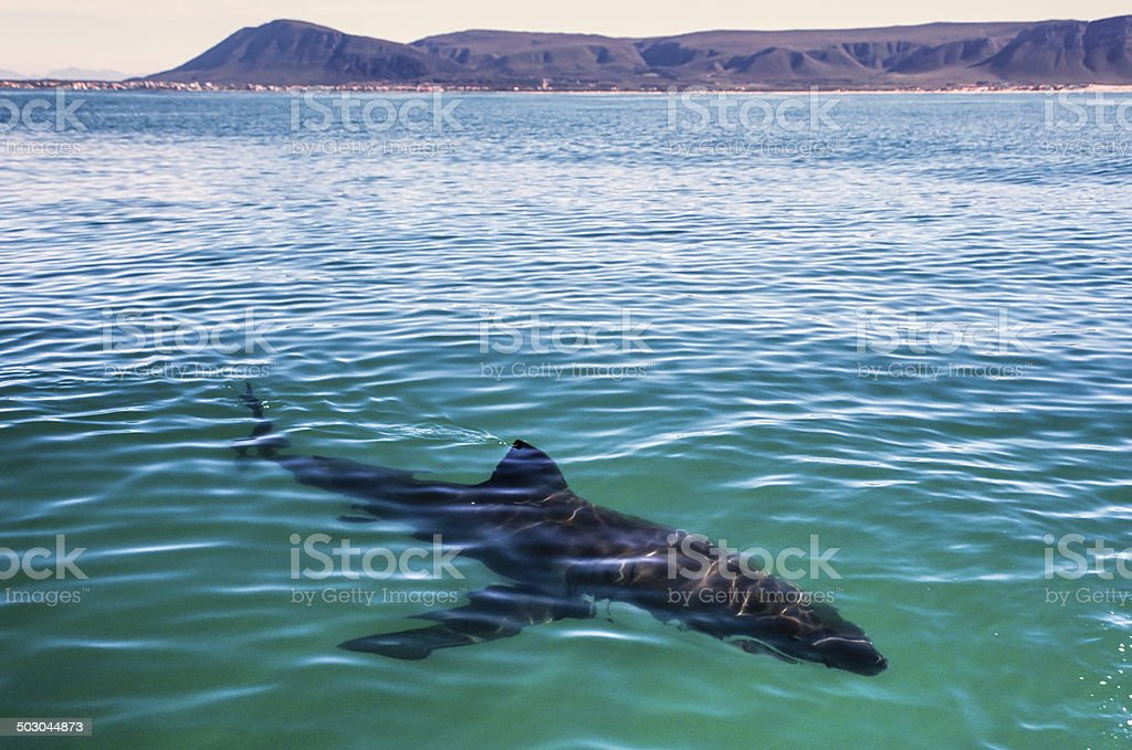 The Great White Shark White shark approaches a dive boar in Gansbai - South Africa Alertness Stock Photo