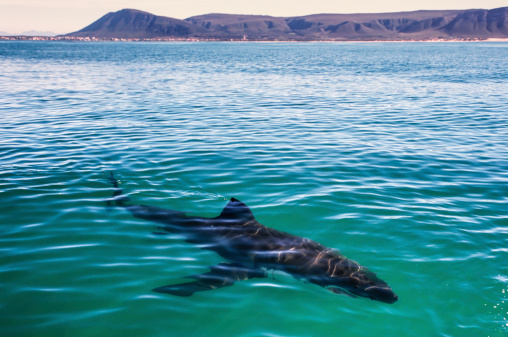 The Great White Shark Stock Photo - Download Image Now