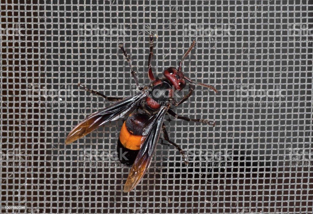El tropica Hornet congregado mayor o Vespa en mosquitera de alambre - foto de stock