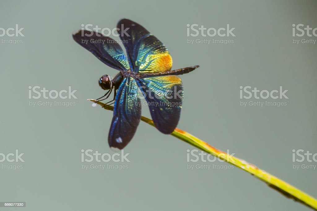 The Greater Blue-Wing stock photo