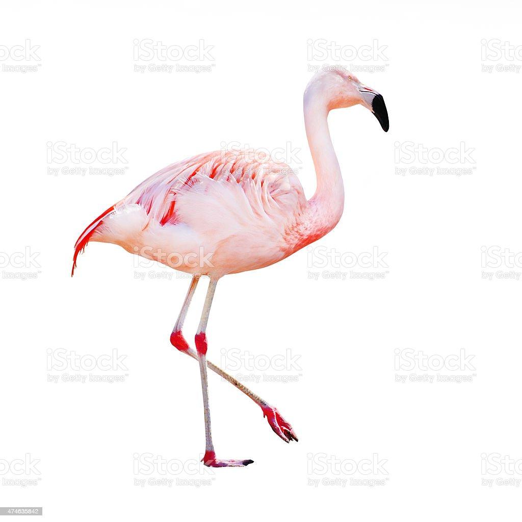 The Greater Flamingo (Phoenicopterus roseus) stock photo