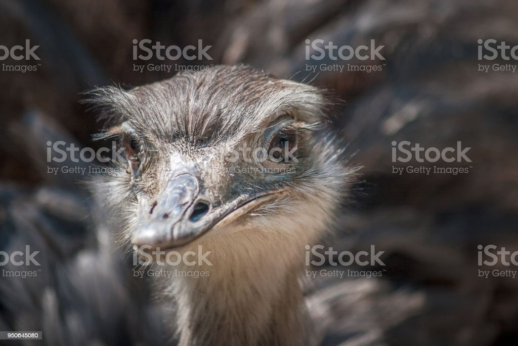 The greater rhea (Rhea americana), flightless bird in close-up. stock photo