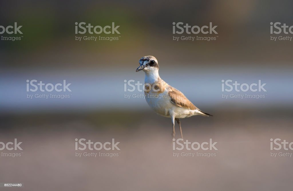 The greater sand plover (Charadrius leschenaultii) stock photo