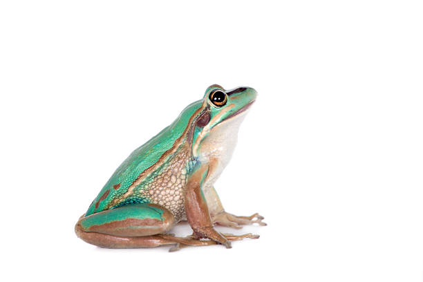 the green and golden bell frog on white - croak stock pictures, royalty-free photos & images