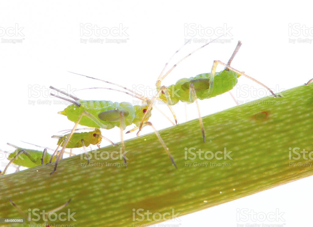 The Green aphids. stock photo