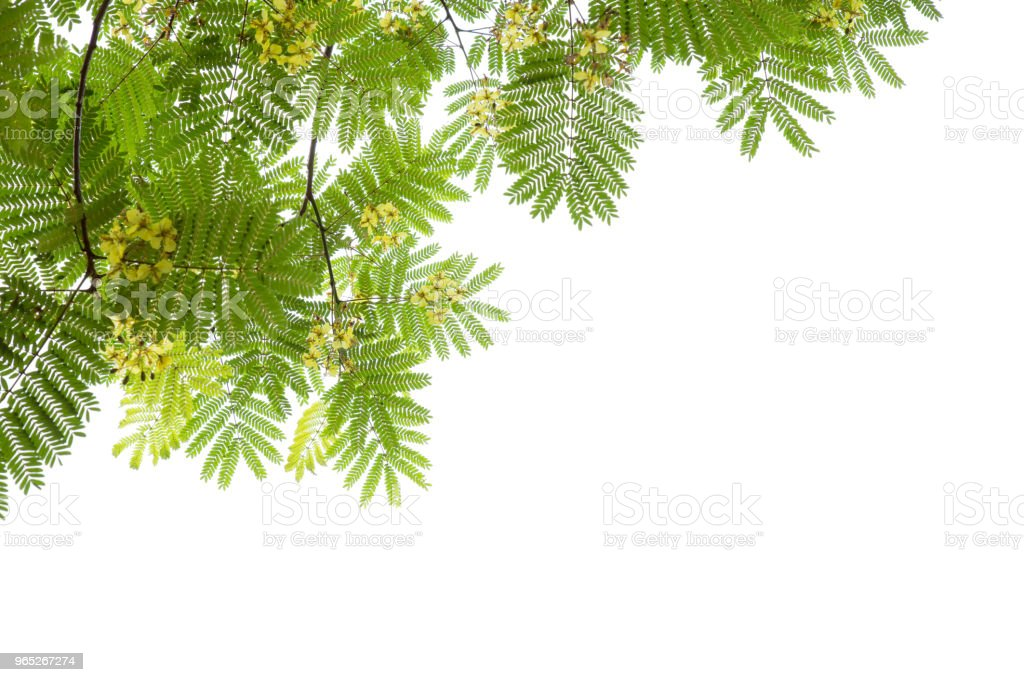The green branches have yellow flowers on white background zbiór zdjęć royalty-free