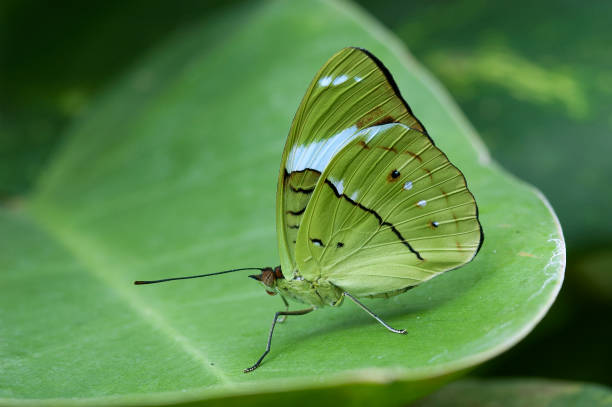 The green butterfly Nessaea aglaura butterfly. stock photo