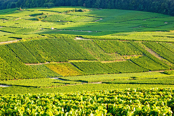 The green Cramant champagne vineyards Late summer vineyards of a Premiere Cru area of France showing the lines of vines in blocks giving a grid pattern. epernay stock pictures, royalty-free photos & images