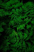 These are the plant of fern . These are  ideal for the wallpaper and background
