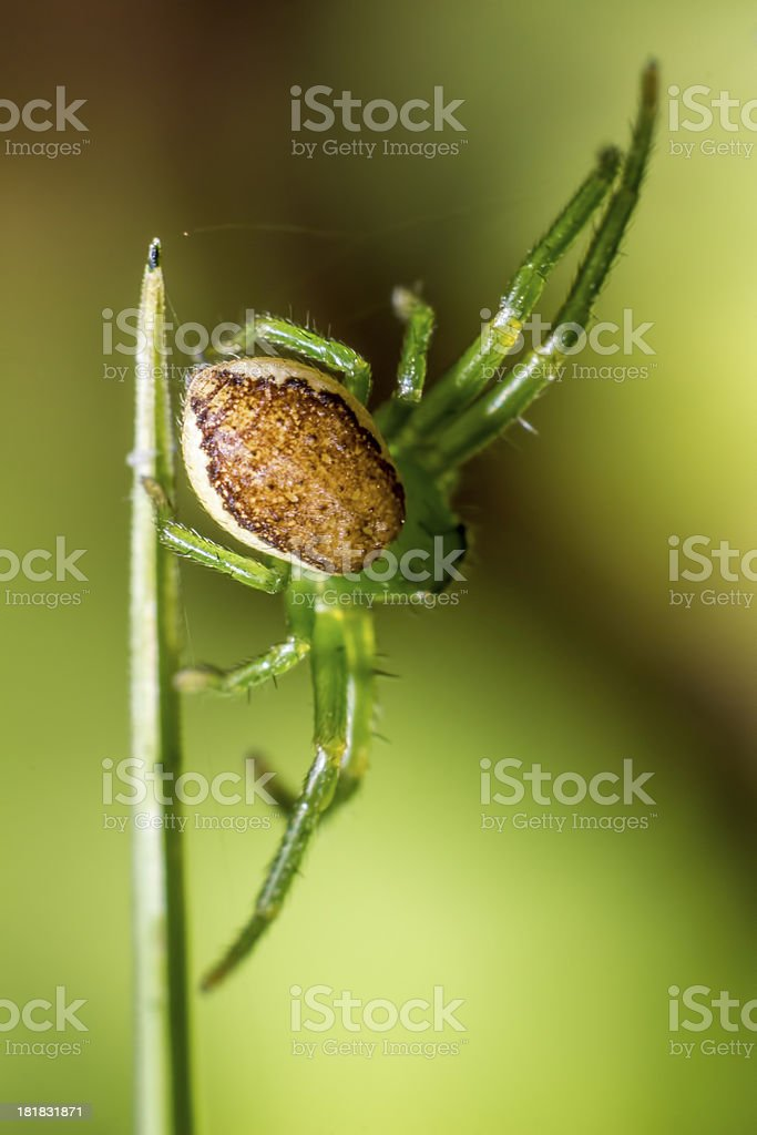 The green forest spider royalty-free stock photo