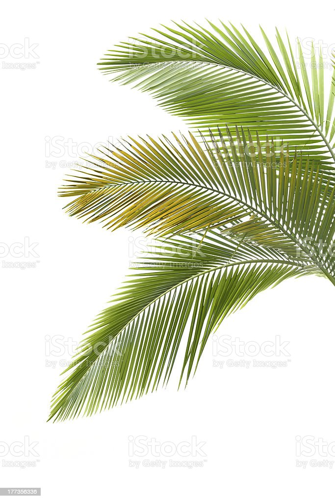 The green leaves of a palm tree stock photo