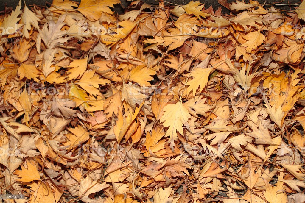 Background fallen autumn leaves from weeping silver birch tree stock photo