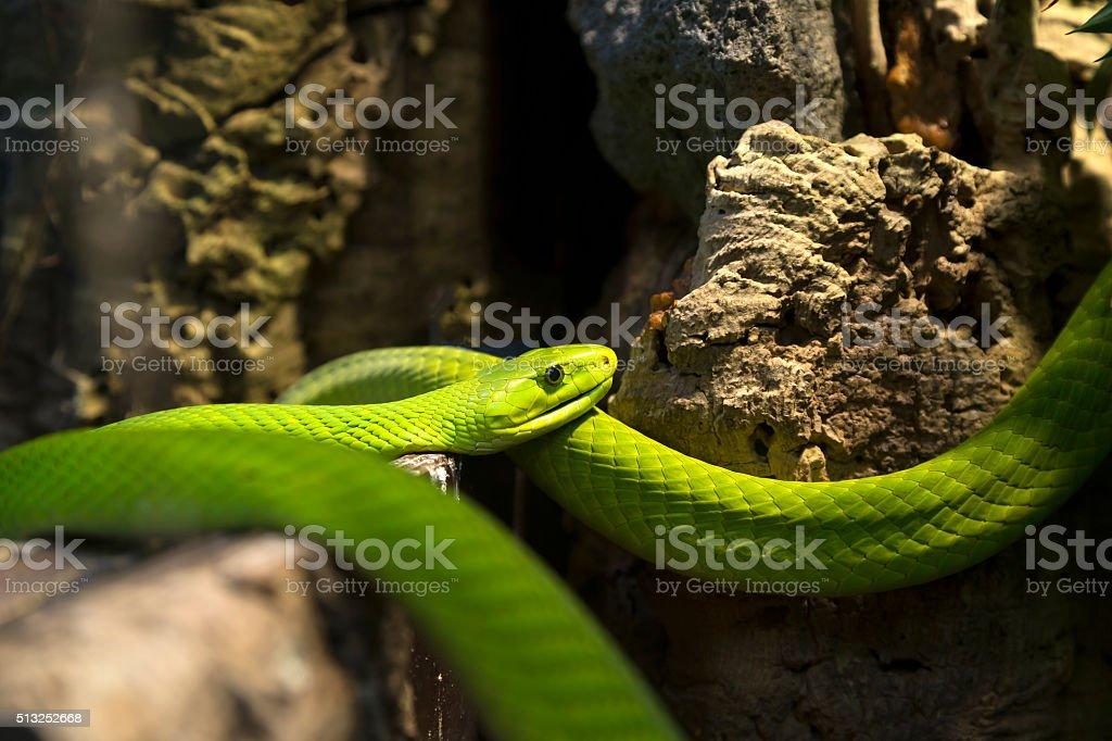 The green mamba stock photo